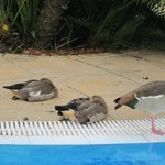 Geese living and defecating by the pool
