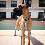 Our Great Dane loves Homewood Suites