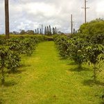 A look at the coffee orchard