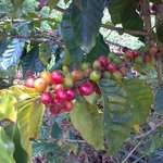 Coffee bushes will fully mature in about 7 years