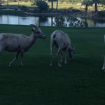 More Big Horn Sheep At SilverRock