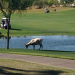 Big Horn Sheep Grazing On The Course