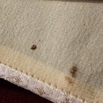 Bed Bug on Box Springs - 4/3/14