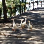 Geese who came to visit