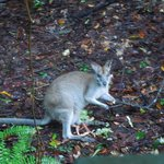 Wallaby near the Veranda