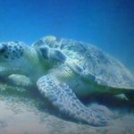 Turtle seen while diving (dive site 30 min from hotel)