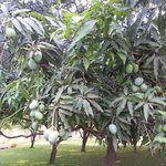 Mango laden trees.........
