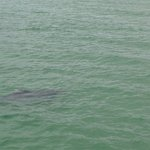 Saw a dolphin off of the Anna Maria Pier!
