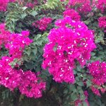 Some of the beautiful flowering shrubs surrounding Hibiscus Apartments.