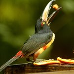 The Aracari frequents the  deck at Crystal Paradise our guests always enjoy viewing these birds