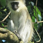 A vervet monkey in the neighbouring forest