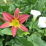 Lilies growing in the garden