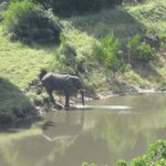 Elephant drinking from the waterhole below the Rippon's Pool