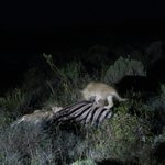 Lion cubs feasting on carcass in the dark