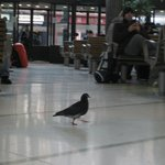 A solitary pigeon in Busaras