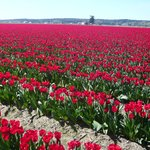 Tulip field near motel