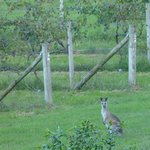 Kangaroos amongst the vines!