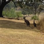 Mum and baby kangaroo off for a morning hop