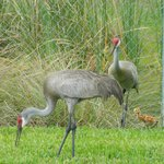 Family of Sand Hill Cranes outside