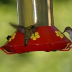 So many humming birds you may have to watch or get hit
