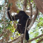 Howler monkeys lounging in the trees right outside our Cabina on most mornings!