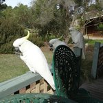 Cockatoos enjoying bread on balcony