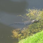 Alligator sunning himself below our window
