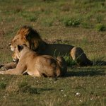 a lion and a lioness at masai mara national reserve