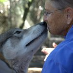 Nose to Nose - The gentleness of a wolf is shown.