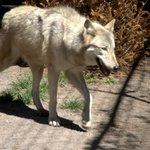 A full-blooded wolf walks through its encloser