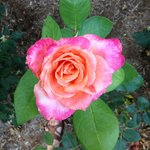 A favorite rose in the garden