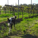 Pepper and her Pine Cone playing in the Shiraz vines.