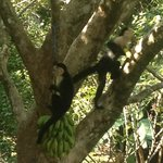 These white face monkeys came by everyday, Tom puts out the bundle of bananas for them