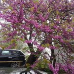 Judas Tree on river bank - B&B car park