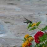 A humming bird in the garden of The Willows