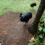 Cassowary and his chick