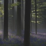 Hallerbos – ''The Blue Forest''