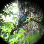 The female quetzal which Rafael found for us.