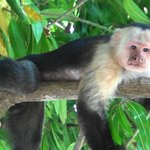 White faced monkey in the mango tree