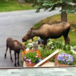 We never know when a moose will stop by and visit Susitna Sunsets B&B.