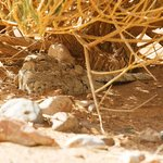 Egyptian Nightjar seen close to hotel