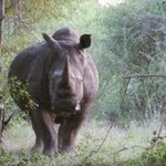 Rhino Walking Safaris at Plains Camp resmi