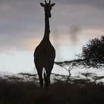 Giraffe at sunset Nairobi Game Park