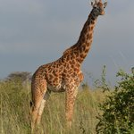 Giraffe with wild background!