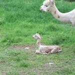 "Polaris, our prize sire, as a brand new ""Cria"""
