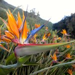 Birds of Paradise on the grounds