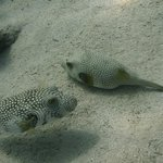 Porcupinefishes