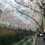 Cherry Blossoms in Jinhae District