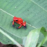 Blue Jeans Poison Dart Tree Frog-super tiny and beautiful.