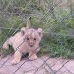 Lion cub in rehabilitation centre